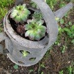Hens & Chicks Repurposed Containers