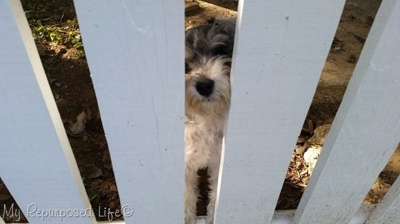 lulu mae peeking through the fence