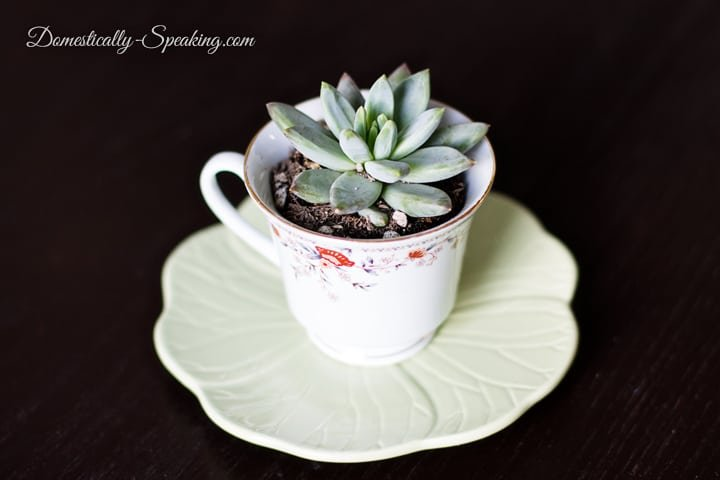 succulent planter in a teacup